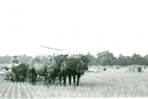 Combining grain, Burford Township,